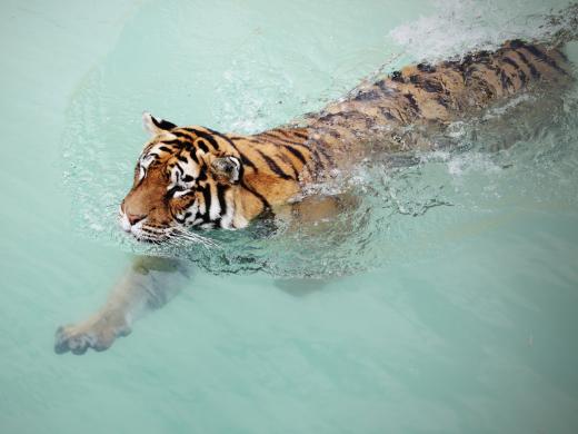 De tijger Okki