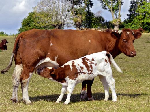 Melk komt van de koe